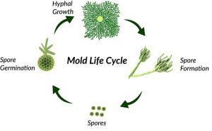 mold-spores-growth